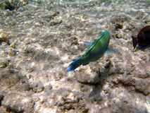 水下热带异乎寻常的鱼 pseododax moluccanus 免版税库存照片
