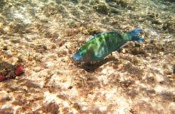 水下热带异乎寻常的鱼 pseododax moluccanus 免版税库存图片