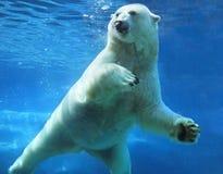 水下熊极性的游泳 库存图片