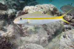 水下白色的梭鱼 免版税库存图片
