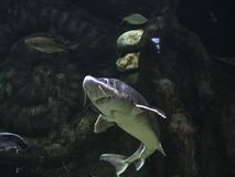 水下的世界Oceanarium在莫斯科 Moskvarium 免版税库存图片