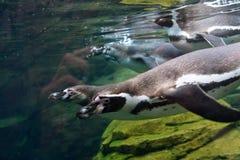 水下的企鹅 库存图片