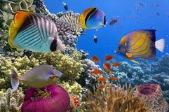 水下的场面,显示不同的五颜六色的鱼游泳 免版税库存图片