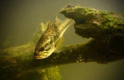 水下的大嘴鲈在佛罗里达 库存图片