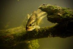 水下的大嘴鲈鱼 图库摄影