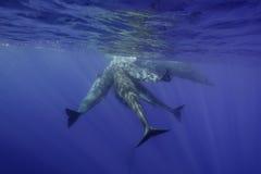 水下的抹香鲸 库存图片