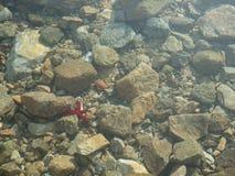 水下的海星,小卵石在海 库存图片