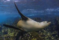 水下的海狮,加拉帕戈斯群岛 免版税图库摄影