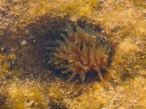 水下的海葵属,地中海 免版税库存照片