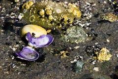 水下的海洋壳 免版税库存照片
