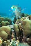 水下的热带鹦嘴鱼,博内尔岛 免版税库存图片