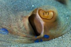 水下的照片:青被察觉的黄貂鱼的眼睛 库存照片