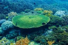 水下的珊瑚和热带鱼在印度洋 库存图片