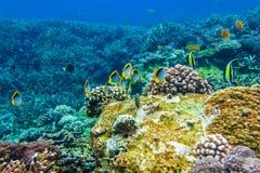 水下的珊瑚和美丽的热带鱼在印度洋 免版税库存照片