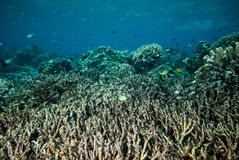 水下的珊瑚礁在Derawan,加里曼丹,印度尼西亚 库存照片