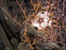 水下的珊瑚礁筐蛇尾 库存图片