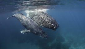 水下的看法og驼背鲸母亲和小牛 免版税库存照片