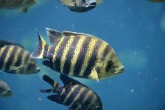 水下的罗非鱼 库存照片