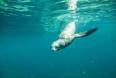 水下的观点的加利福尼亚海狮 免版税库存照片