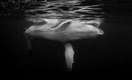 水下的观点的驼背鲸小牛,它符合呼吸 免版税库存照片