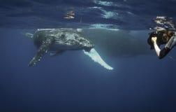 水下的观点的驼背鲸小牛,它符合呼吸 库存图片