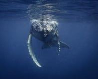 水下的观点的驼背鲸小牛,它符合呼吸 库存照片
