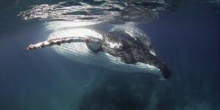 水下的观点的驼背鲸 图库摄影