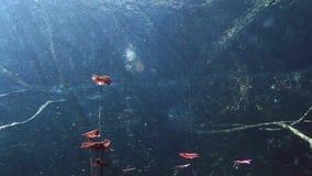 水下的风景和植被在湖cenote 股票视频