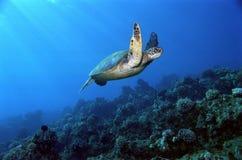 水下的飞行绿浪乌龟 图库摄影