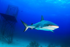 水下的鲨鱼 库存照片