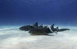水下的绞口鲨科 免版税库存图片