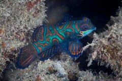 水下的Mandarinfish 免版税库存照片