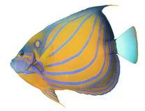 水下神仙鱼背景蓝色bluering的射击 免版税库存图片