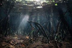 水下美洲红树的根和的阳光 图库摄影