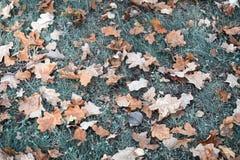 下落从树秋天橡木叶子 免版税库存照片