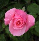下落宏观桃红色雨玫瑰色射击 库存图片