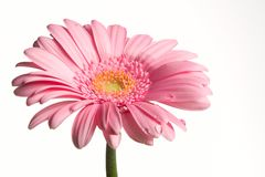 下落开花粉红色 图库摄影