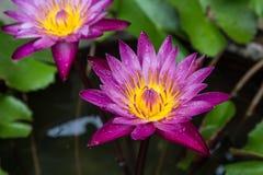 下落新鲜的莲花水 库存照片