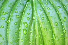 下落玉簪属植物叶子 库存照片