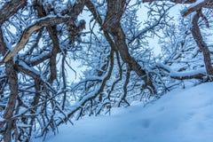 下落的冬天橡木分支 免版税库存照片