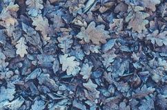 下落的叶子和冻橡木背景  图库摄影