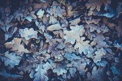 下落的叶子和冻橡木背景  库存图片