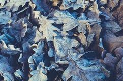 下落的叶子和冻橡木背景  免版税库存照片