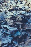 下落的叶子和冻橡木背景  免版税图库摄影
