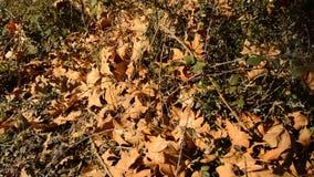 下落的叶子在Autmn 股票视频