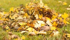 下落的叶子,与黄色叶子的一棵树,多雨秋天,一片湿叶子 免版税图库摄影