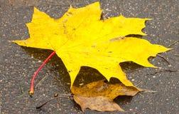 下落的叶子,与黄色叶子的一棵树,多雨秋天,一片湿叶子 免版税库存图片