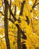 下落的叶子,与黄色叶子的一棵树,多雨秋天,一片湿叶子 库存照片