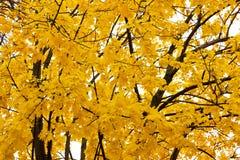 下落的叶子,与黄色叶子的一棵树,多雨秋天,一片湿叶子 免版税库存照片