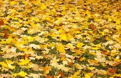 下落的叶子,与黄色叶子的一棵树,多雨秋天,一片湿叶子 库存图片